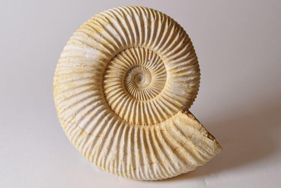 fossil-ammonites